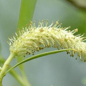 HealthRoots- Salix Alba Natural pain killer