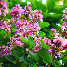 HealthRoots- Banaba in Glycoherb for diabetes treatment