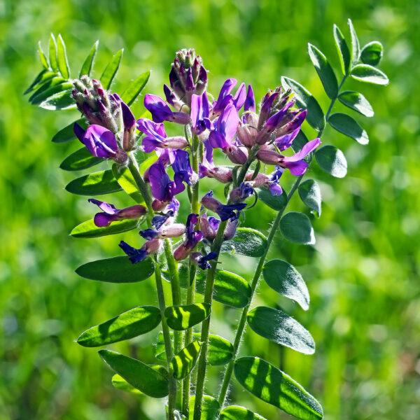 Astragalus-membranaceus-in-india-Healthroots